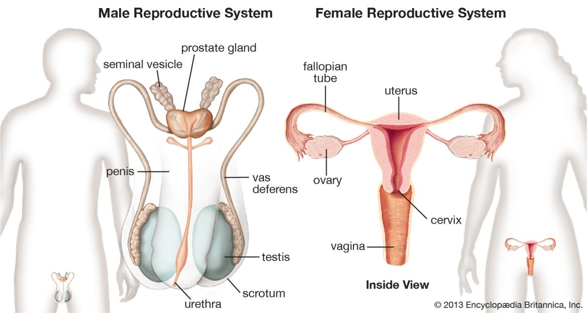 facts about reproductive system